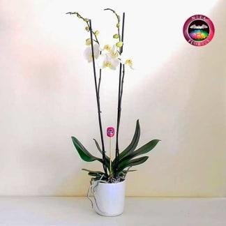 Orquídea mariposa Phalaenopsis dos varas blanca matera cerámica Curie blanca frontal Neea Flora