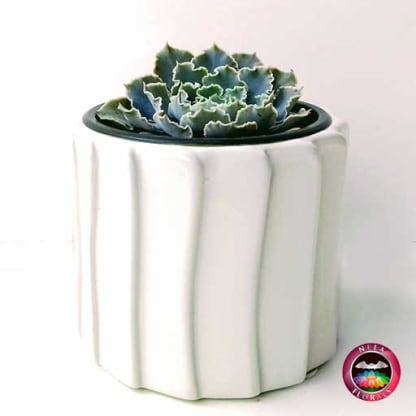 Suculenta Echeverria en matera tuerca cerámica blanca lateral Neea Flora