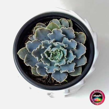 Suculenta Echeverria en matera tuerca cerámica blanca superior Neea Flora