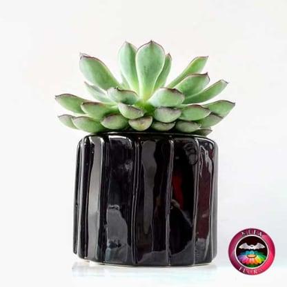 Suculenta 9cm matera cerámica tuerca negra lateral