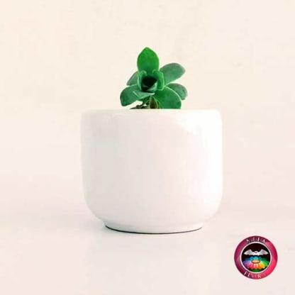 Recordatroio suculenta matera cerámica esmaltada ponchita blanca Neea Flora