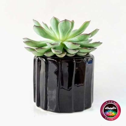 Suculenta 9cm matera cerámica tuerca negra frontal