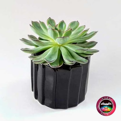 Suculenta 9cm matera cerámica tuerca negra diagonal
