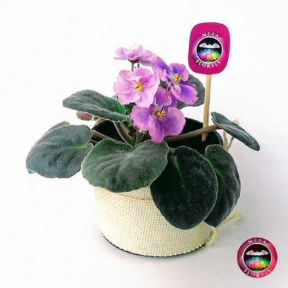 Comprar planta violeta africana Saintpaulia flora ros púrpura matera plástica yute 10 cm diagonal Bogotá Neea Flora