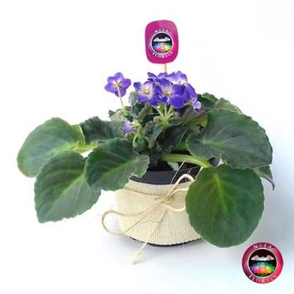 Comprar planta violeta africana Saintpaulia flora morada púrpura matera plástica yute 10 cm frontal Bogotá Neea Flora