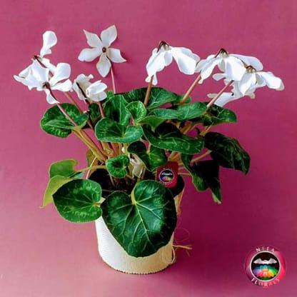 Comprar planta violeta de los alpes ciclamen flor blanca Cyclamen persicum matera plástica yute 17cm frontal Neea Flora