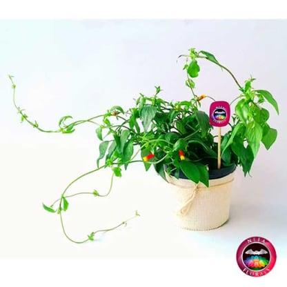 Comprar planta fosforito amarillo rojo Cuphea ignea matera plástica yute 12 cm frontal Neea Flora
