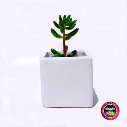 Suculenta matera cerámica cubo pequeña frontal Neea Flora