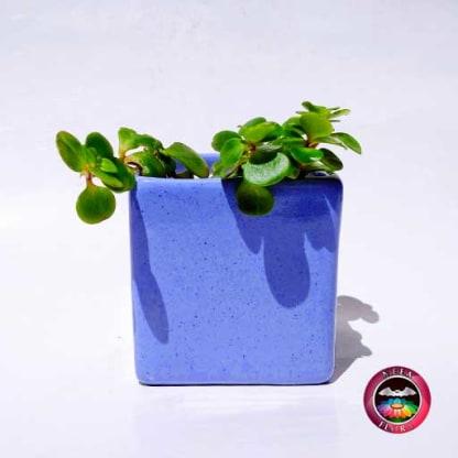 Suculenta matera cerámica cuadrada azul frontal Neea Flora
