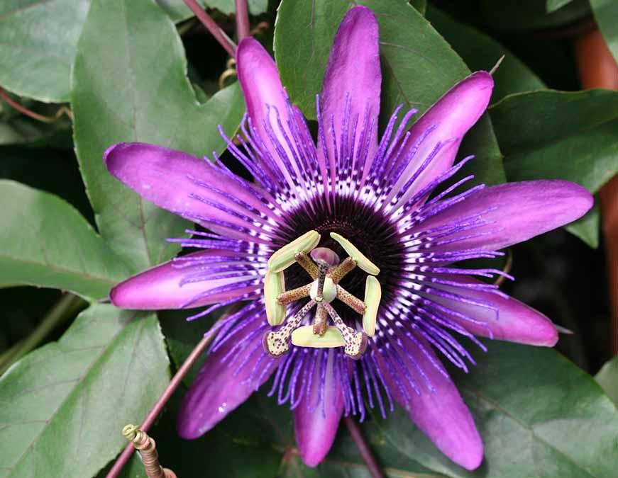 Passiflora una de las tantas plantas ornamentales nativas que Neea Florals promueve