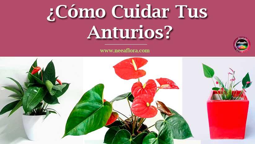 Artículo Cómo cuidar tus Anturios Anthurium blog Neea Flora