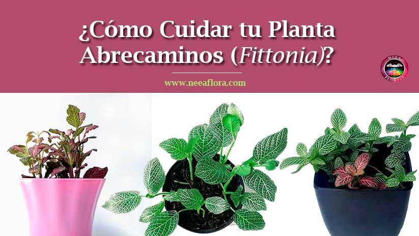 Artículo Cómo cuidar tu planta abrecaminos Fittonia blog Neea Flora