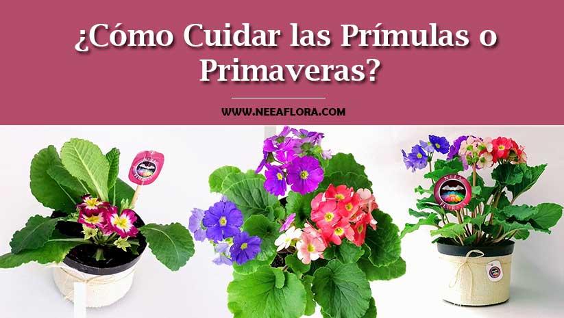 Artículo cómo cuidar las prímulas o primaveras Neea Flora