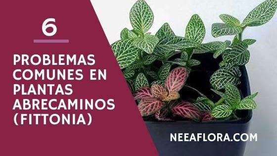 6 problemas comunes con las plantas abrecaminos o fitonias y cómo solucionarlos Neea Flora