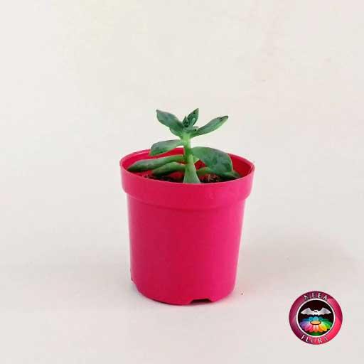 Recordatorio suculenta matera plástica 5cm fucsia Neea Flora