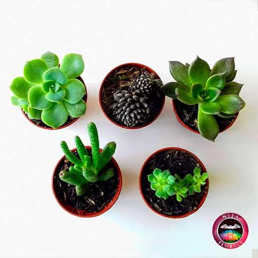 Plantas suculentas variadas 5cm materas plásticas terracota superior Neea Flora