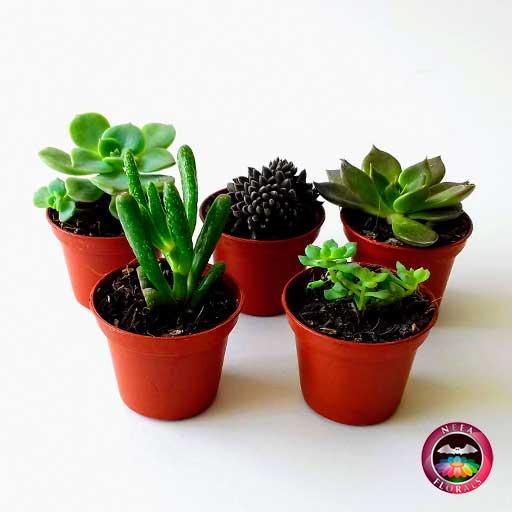 Plantas suculentas variadas 5cm materas plásticas terracota frontal Neea Flora