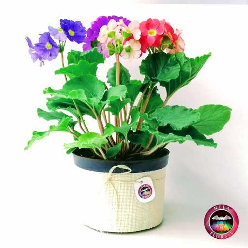 Comprar planta primavera trio prímula victoria roja rosa púrpura morada Primula obconica maceta plástica yute 14 cm lateral Neea Flora