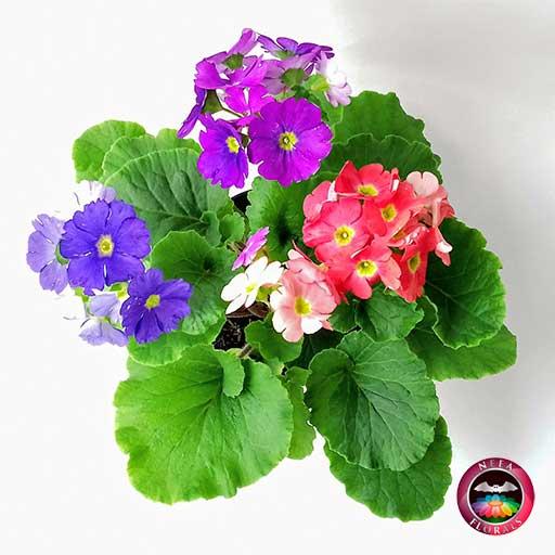 Comprar planta primavera trio prímula victoria roja rosa púrpura morada Primula obconica matera plástica yute 14 cm superior Neea Flora