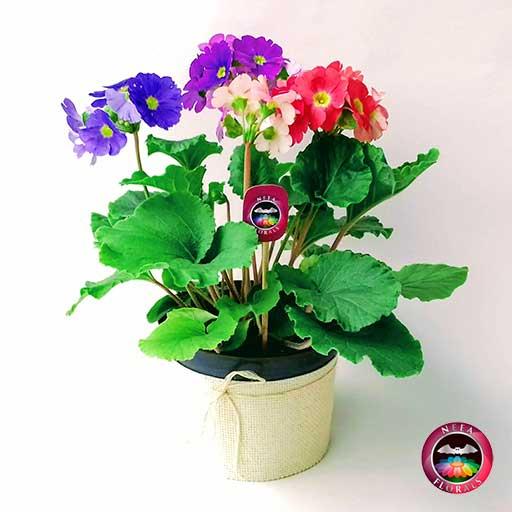 Comprar planta primavera trio prímula victoria roja rosa púrpura morada Primula obconica matera plástica yute 14 cm frontal Neea Flora