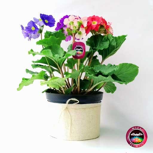 Comprar planta primavera trio prímula victoria roja rosa púrpura morada Primula obconica matera plástica yute 14 cm lateral Neea Flora
