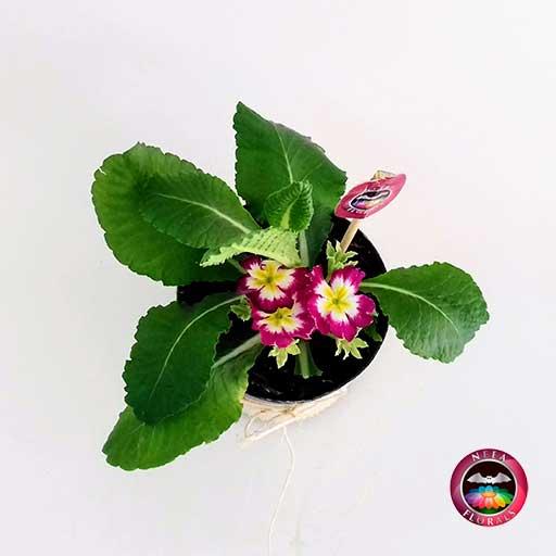 Planta victoria Primula obconica flor roja 10cm matera plástica yute superior Neea Flora