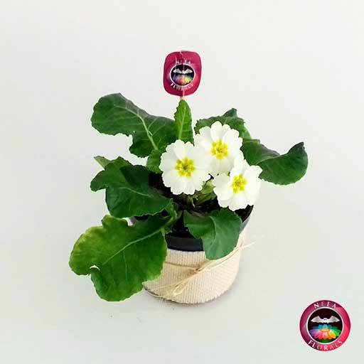Planta primavera Primula obconica flor blanca 10cm matera plástica yute diagonal Neea Flora