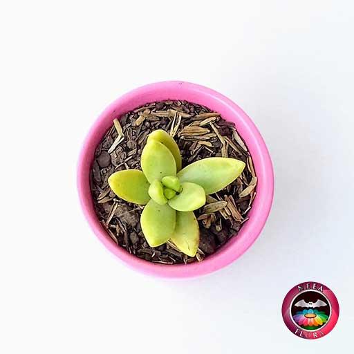 Suculentas matera cerámica vaso mini 6x5cm rosa superior vivero Bogotá