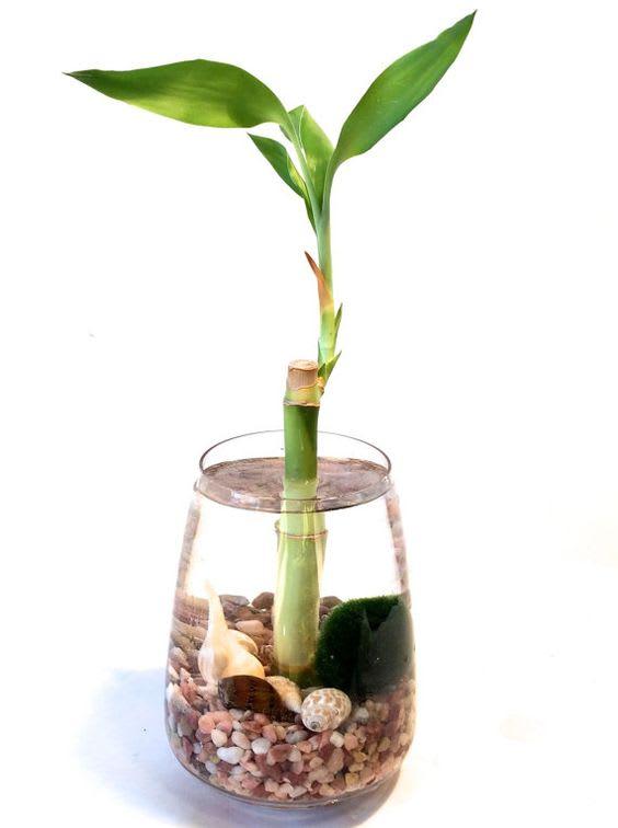 Lucky Bambú o Bambú de la Suerte Dracaena sanderiana Neea Flora