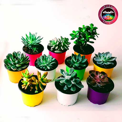 Plantas suculentas variadas 9cm matera plástica frontal Neea Flora