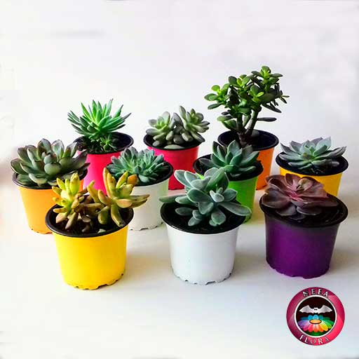 Plantas suculentas variadas 9cm matera plástica lateral Neea Flora