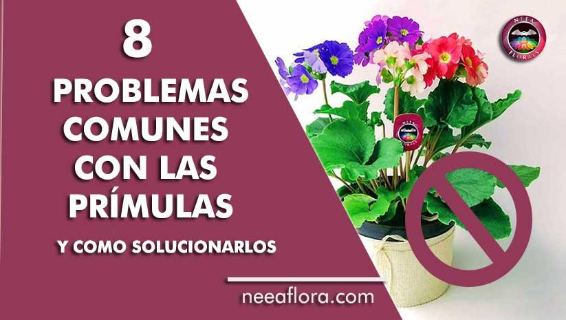 8 problemas comunes con las prímulas o primaveras y como solucionarlos - blog Neea Flora