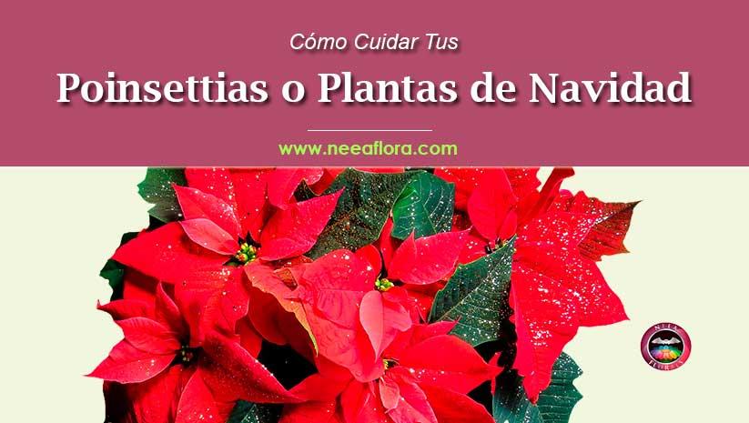 como cuidar tu Poinsettia o planta de navidad Blog Neea Flora