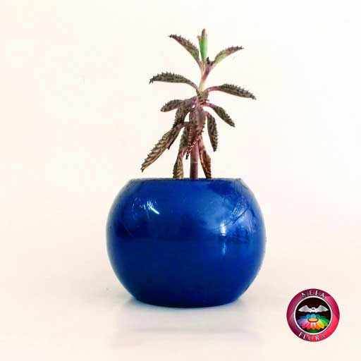 Recordatorio suculenta matera cerámica resinada bola mediana azul Neea Flora