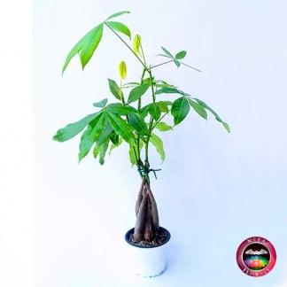 Comprar planta paquira Pachira aquatica matera plástica blanca 9 cm frontal Bogotá Neea Flora