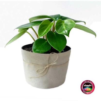 Planta de Interior Filodendro Verde Philodendron Neea Flora