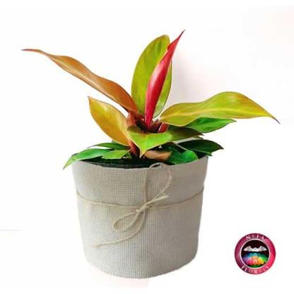 Planta de Interior Filodendro Naranja Philodendro P-14 Neea Flora