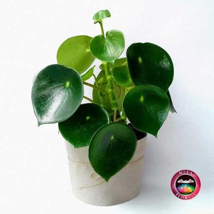 Planta de Interior Cuchara Pilea peperomioidea Neea Flora