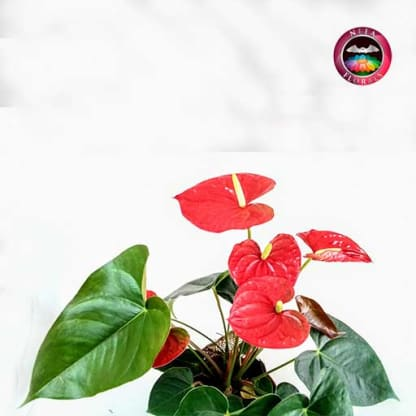 Anturio rojo Anthurium 14cm maceta plásticayute zoom Neea Flora