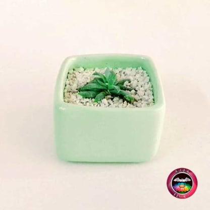Suculenta recordatorio matera cerámica caja 7x4cm verde crema Neea Flora