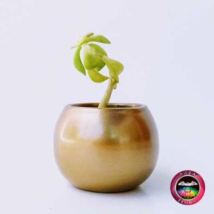 Suculentas matera cerámica bola mini 7-10cm dorada lateral