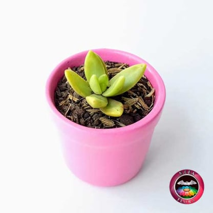Suculentas matera cerámica vaso mini 6x5cm rosa diagonal vivero Bogotá