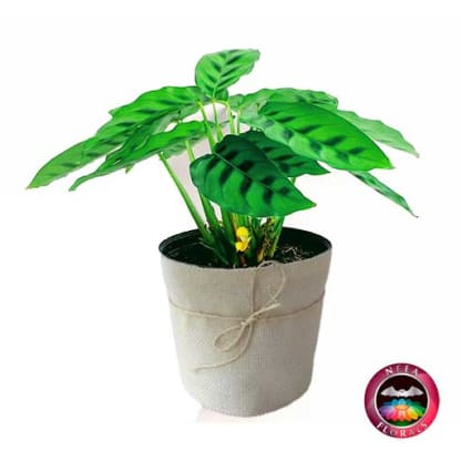 Planta mandamiento Calathea P-14 Planta de Interior Neea Flora.