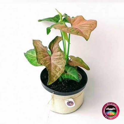 Comprar planta Singonio rosa Syngonium podophyllum14cm de diámetro. Viene en una mactera plástica con yute artesanal a domicilio en Bogotá.