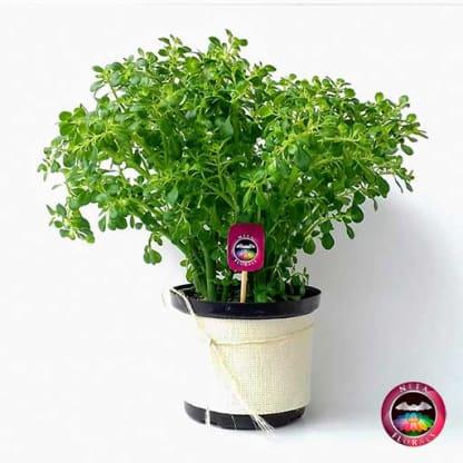 Planta colchón de niño Pilea microphylla 14cm de diámetro. Viene en una matera plástica cubierta con yute artesanal. Compra a domicilio en Bogotá. Vivero Neea Flora