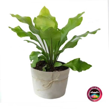 Helecho Nido de Ave Liso Asplenium nidus P-14 Neea Flora