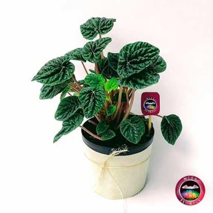 Comprar planta velitas Peperomia caperata 12cm diámetro en matera plástica cubierta con yute artesanal en Bogotá a domicilio Neea Flora.