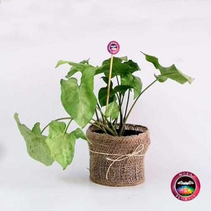 Planta Singonio blanco Syngonium podophyllum14cm en matera plástica yute frontal Neea Flora