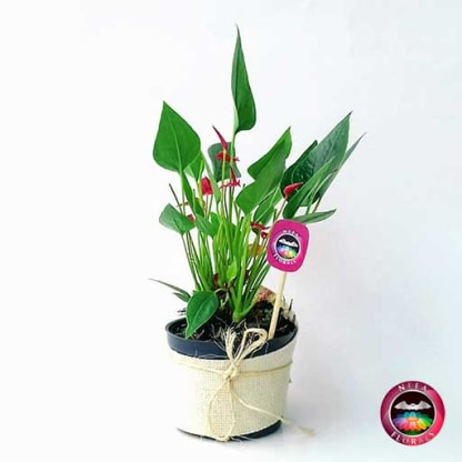 Comprar anturio mini rojo Anthurium andreanum matera plástica yute 10 cm frontal Bogotá Neea Flora