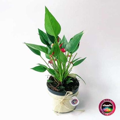 Comprar anturio mini rojo Anthurium andreanum maceta plástica yute 10 cm diagonal Bogotá Neea Flora